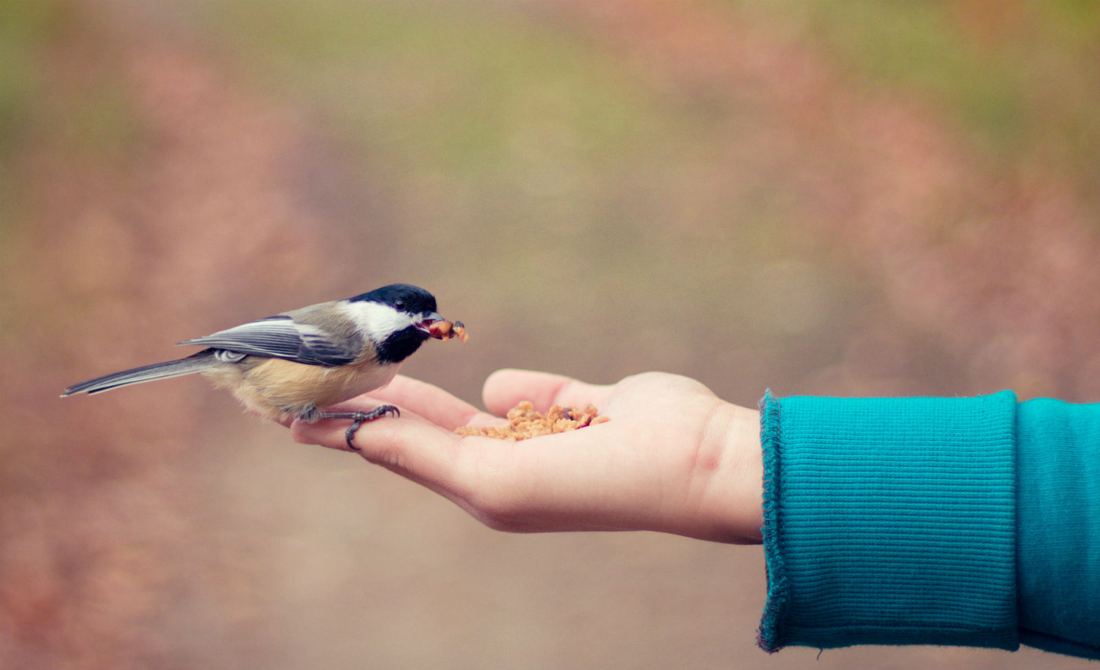 feeding chickadee