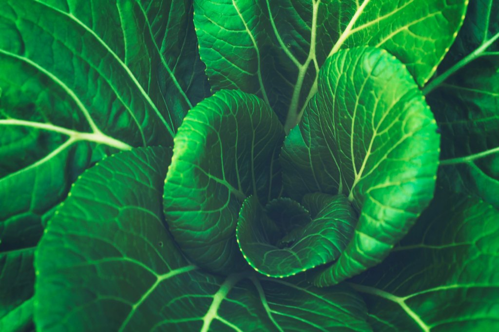 Vibrant, veiny green leaves from a cabbage are in full view.